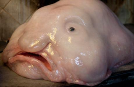 blobfish 2