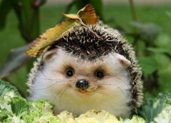 hedgie coke