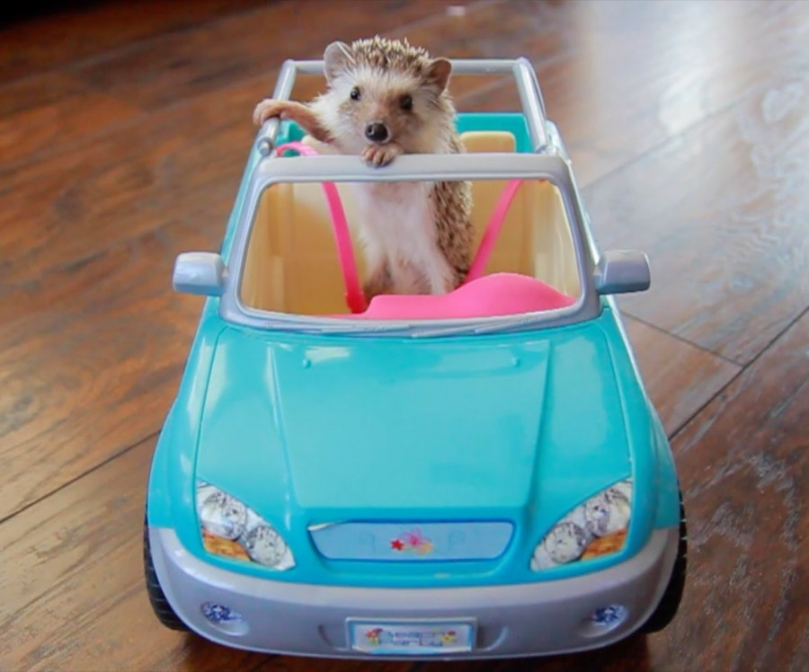 hedgehog in car