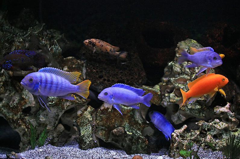 blue red cichlids.jpg