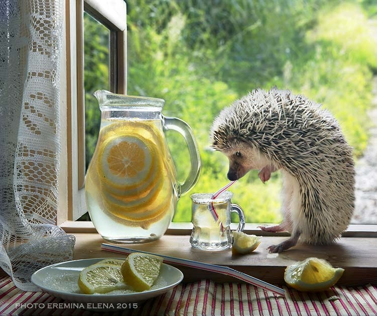hedgehog summer