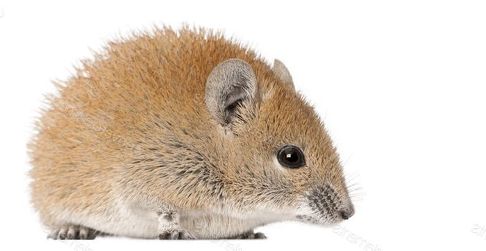 golden spiny mouse