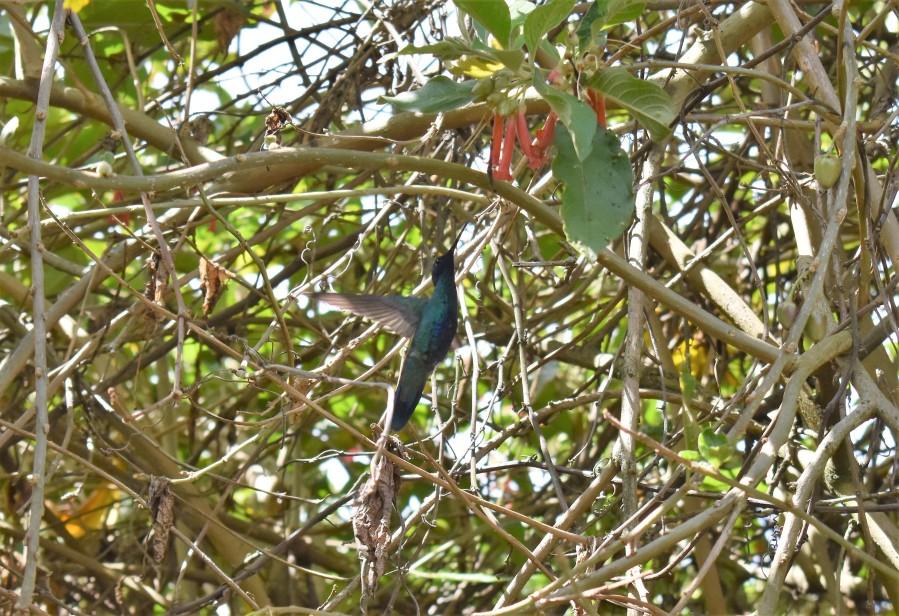 Bogota colibri