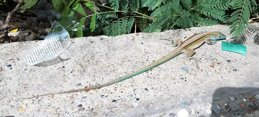 Caragena lizard