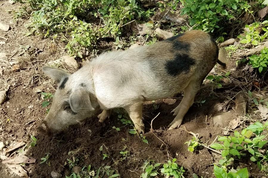 Sierra Nevada wild pig