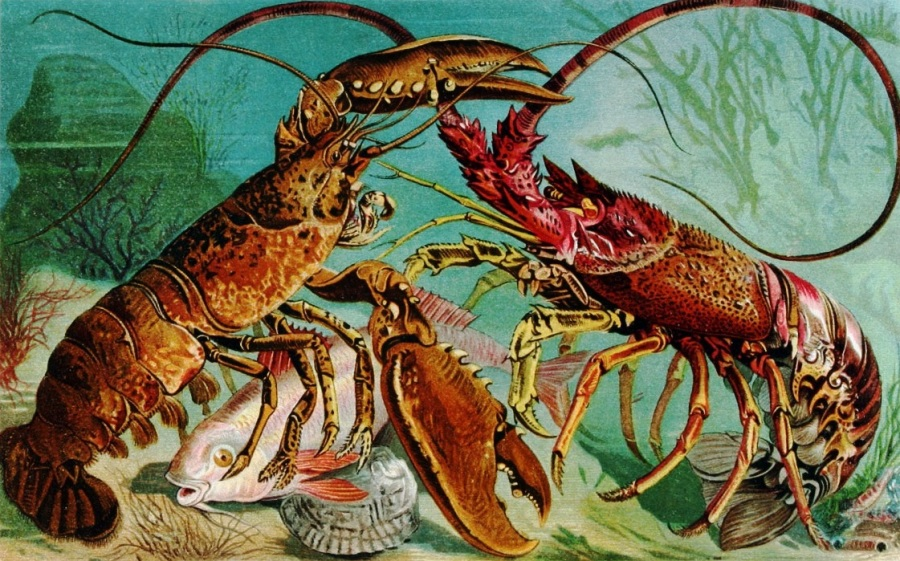 animal-crustacean-lobster-8