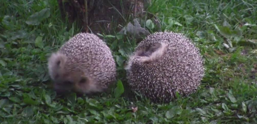 hedgehog males fighting