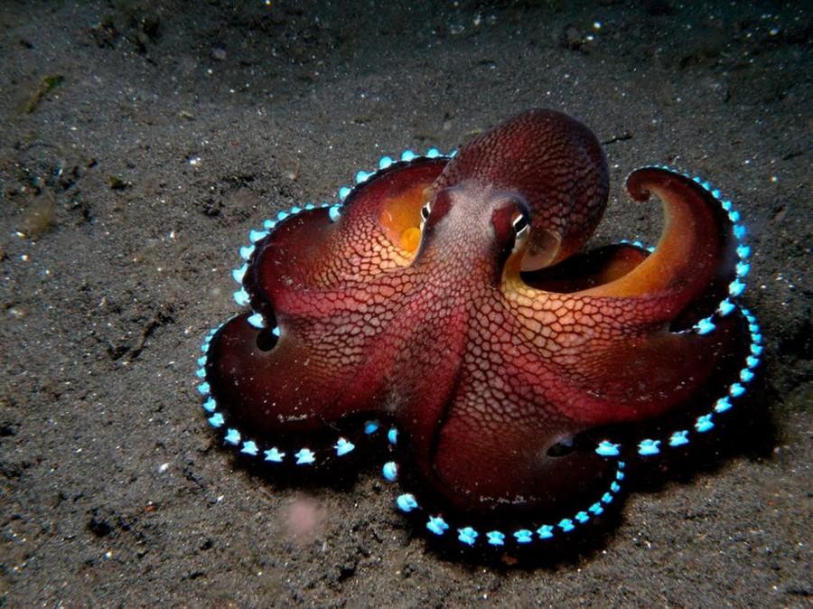 Bioluminescent octopus.jpg